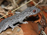 Eastern Spiny-tailed Gecko (Strophurus williamsi)