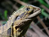 Eastern Water Dragon (Physignathus lesueurii)