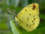 Large Grass Yellow (Eurema hecabe)