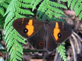 Sword-grass Brown (Tisiphone abeona)