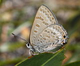 Varied Hairstreak (Jalmenus inous)