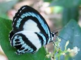 Large Green-banded Blue